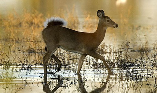 Push for Hunting Deer over Bait Ignores Sound Wildlife Management Principles