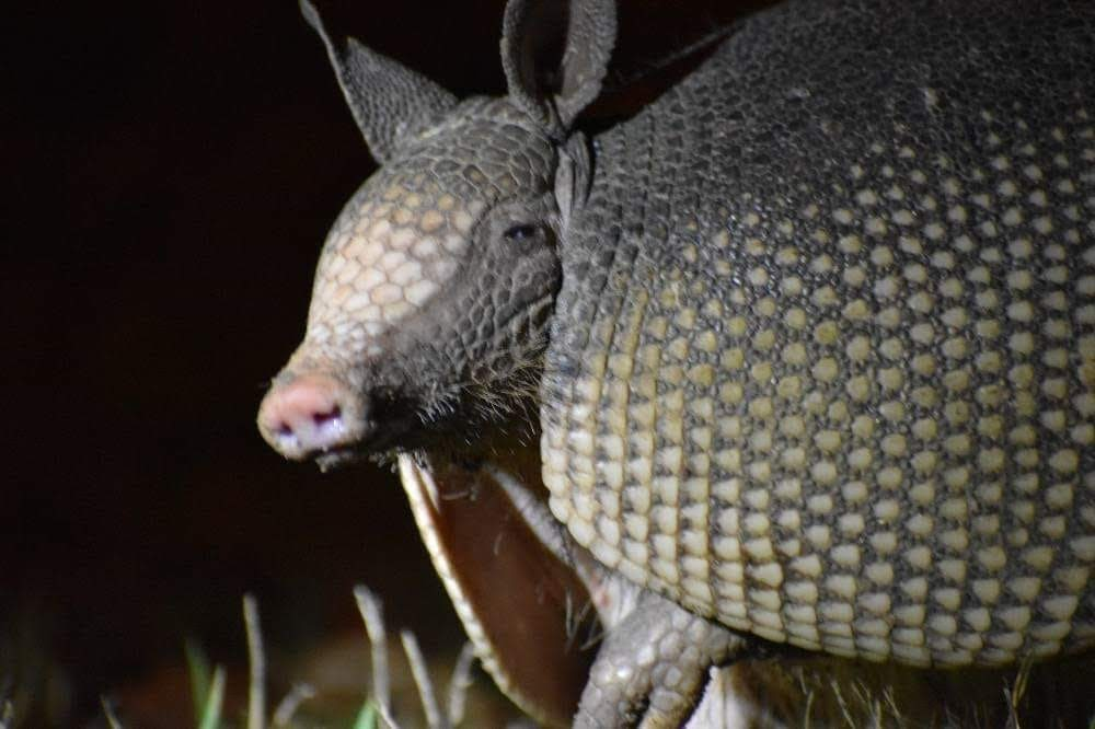 Nine-banded Armadillo: Protected from Nose to Tail