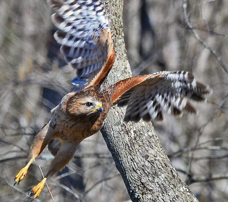 The Red-shouldered Hawk – Dancing for their Date
