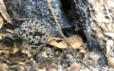 Pigmy Rattlesnake- The Little Ground Rattler