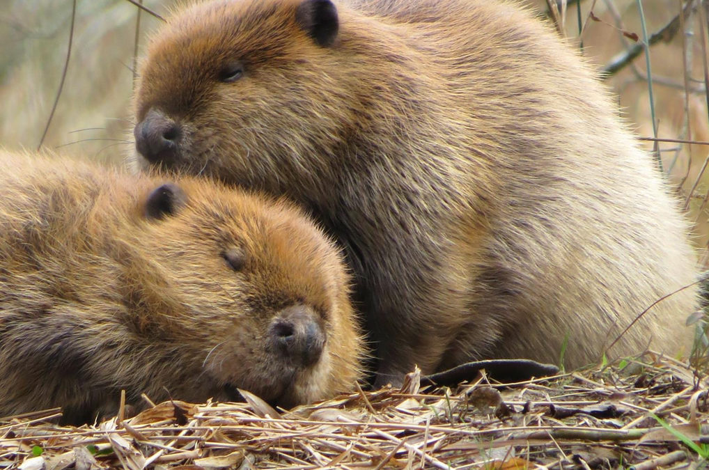 American Beaver – Strong Teeth & Even Stronger Homes