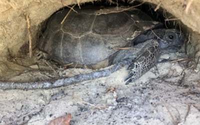 Gopher Tortoise – Building a House for 360+ Species