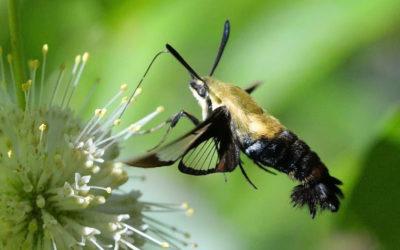 Hummingbird Moth- The Daytime Moth