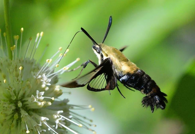 Hummingbird Moth- The Daytime Moth