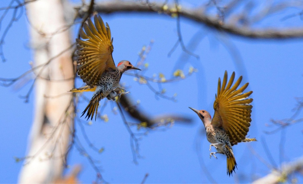 The Northern Flicker- The Anteaters of the Sky